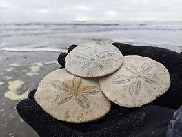 Henleys Sand Dollars.jpg