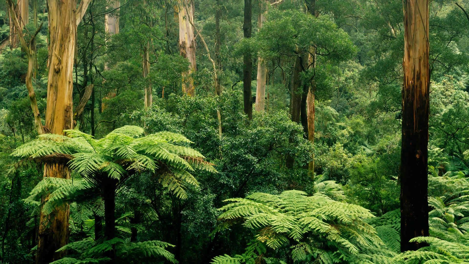 Sherbrooke-Victoria-Australia-forest-tre