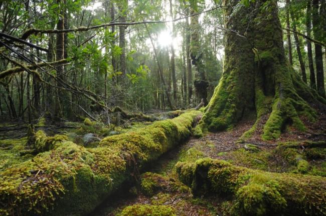 scaled-tasmania_forest.jpg