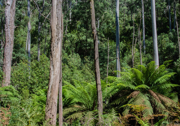Tree-ferns-and-forest-Mountain-Creek-1-o