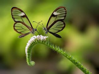 [Translation] 两只蝴蝶 Sepasang kupu-kupu