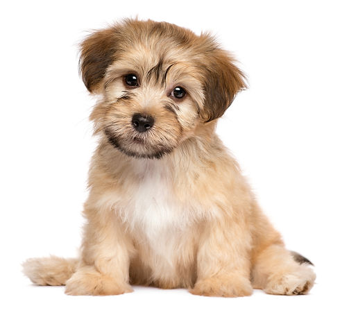 Cute havanese puppy dog is sitting front