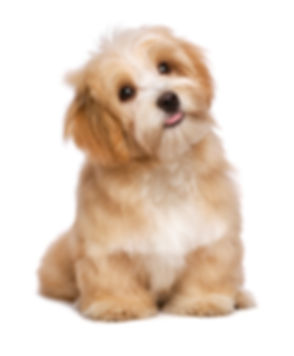 Beautiful happy reddish havanese puppy d