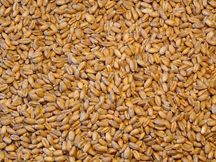 Wheat CDC and AAC