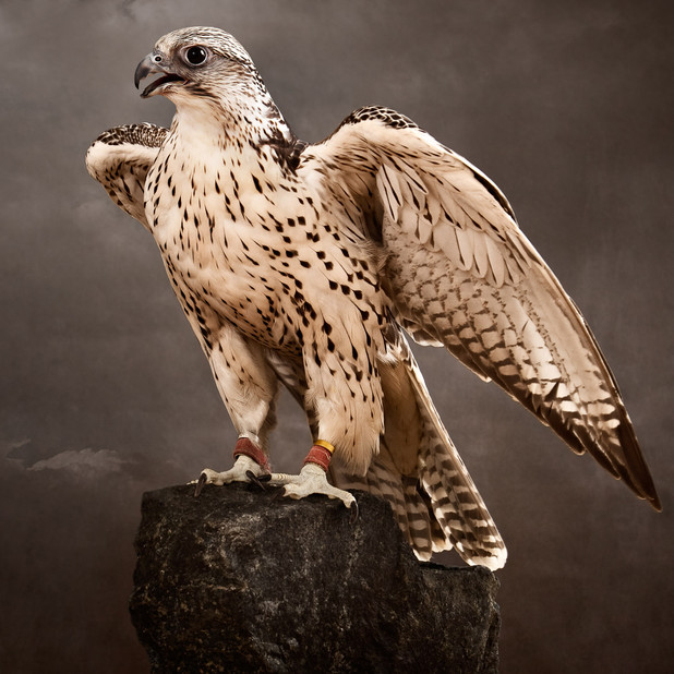 HUNTING FALCON COLLECTION