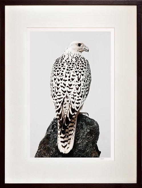 White Gyr Falcon (on rock)