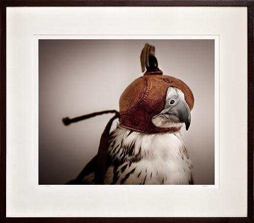 Saker Falcon in hood