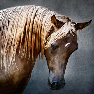 Asil, the Arabian horse