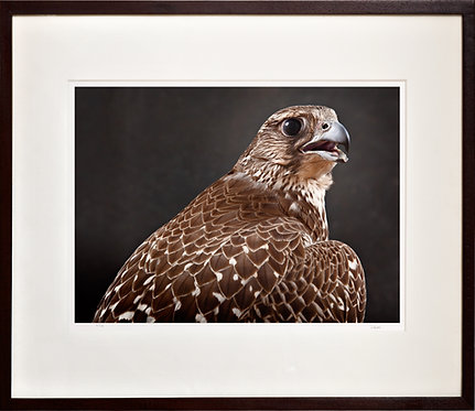 Brown Gyr Falcon