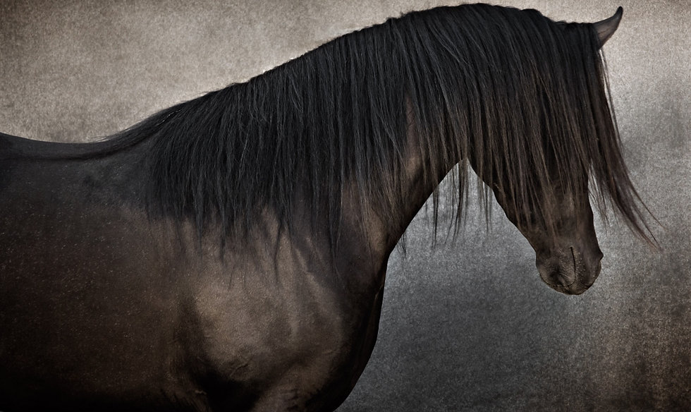 Black Arabian stallion fine art photographic print
