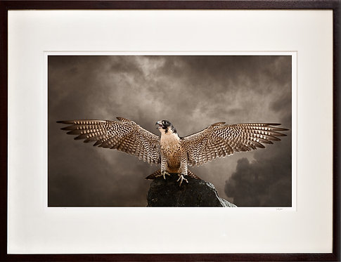 Peregrine Falcon (Wings)
