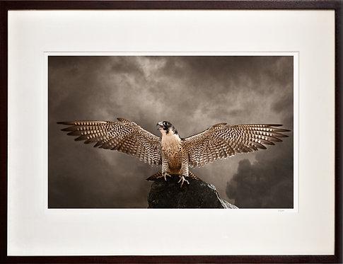 Peregrine Falcon (Wings)
