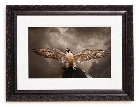 Falcon_framed.jpg
