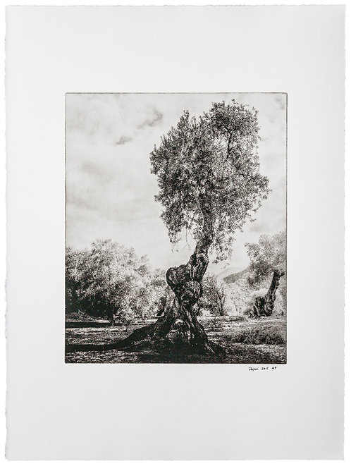 """""""Centenarian olive tree I / olivo centenario I"""""""