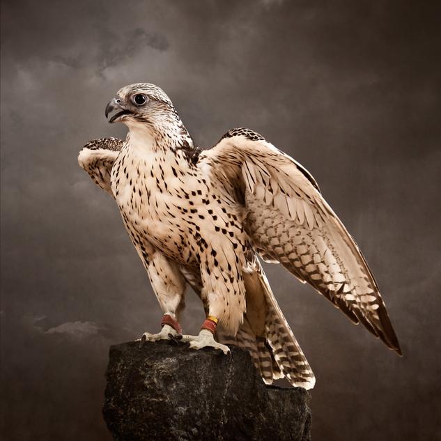 Saqr, the hunting falcon