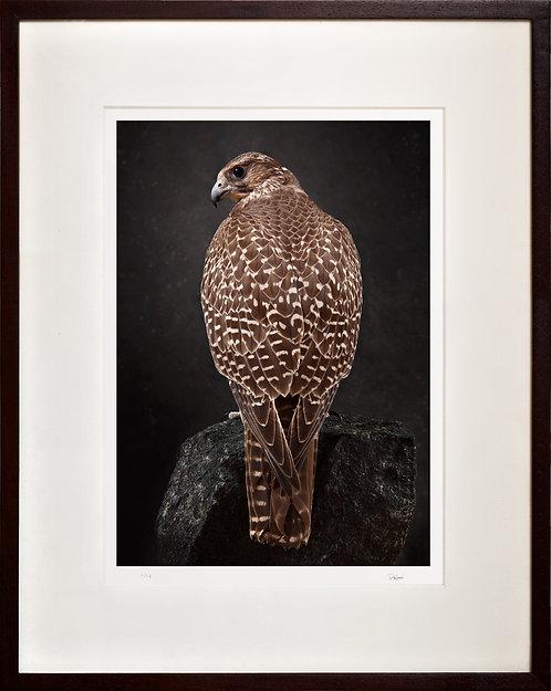 Brown Gyr Falcon (rock)