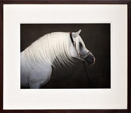 """Hlayyil Ramadan"" - Arabian Stallion"