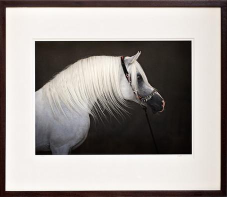 """Hlayyil Ramadan"", champion stallion"