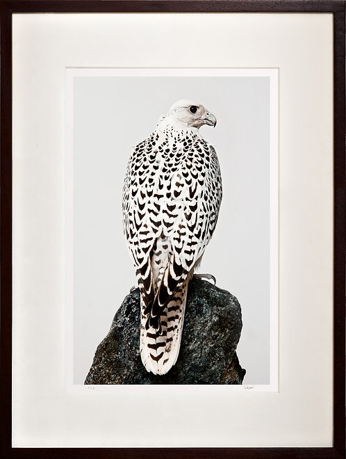 White Gyr Falcon (on rock)