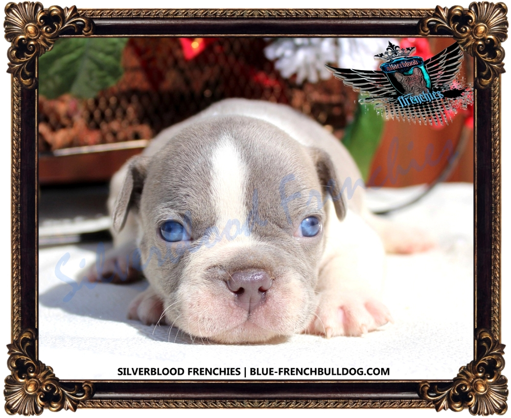 Silverblood Frenchies Blue And Tan French Bulldogs For Sale