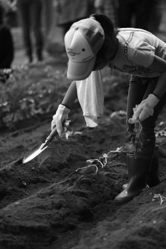 芋の苗植え