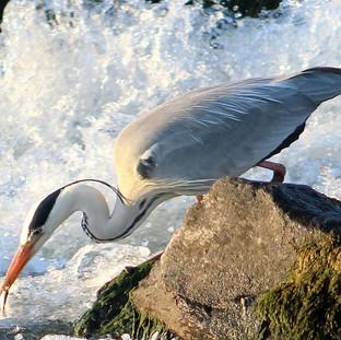 Grey Heron catching Roach
