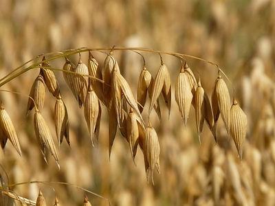 oats_oat_field_arable_220604.jpg