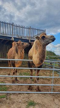 chameau parc animalier domaine de revert