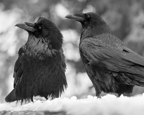 raven 8x10-01493.jpg
