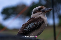 Australian Native Kookabura