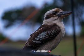 Australian Native Kookabura