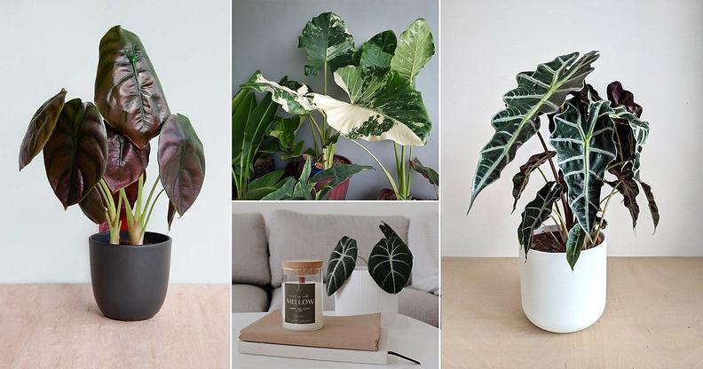21-Best-Types-of-Alocasias-for-Indoor-Growing2.jpg