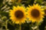 Zonnebloem-3060.jpg