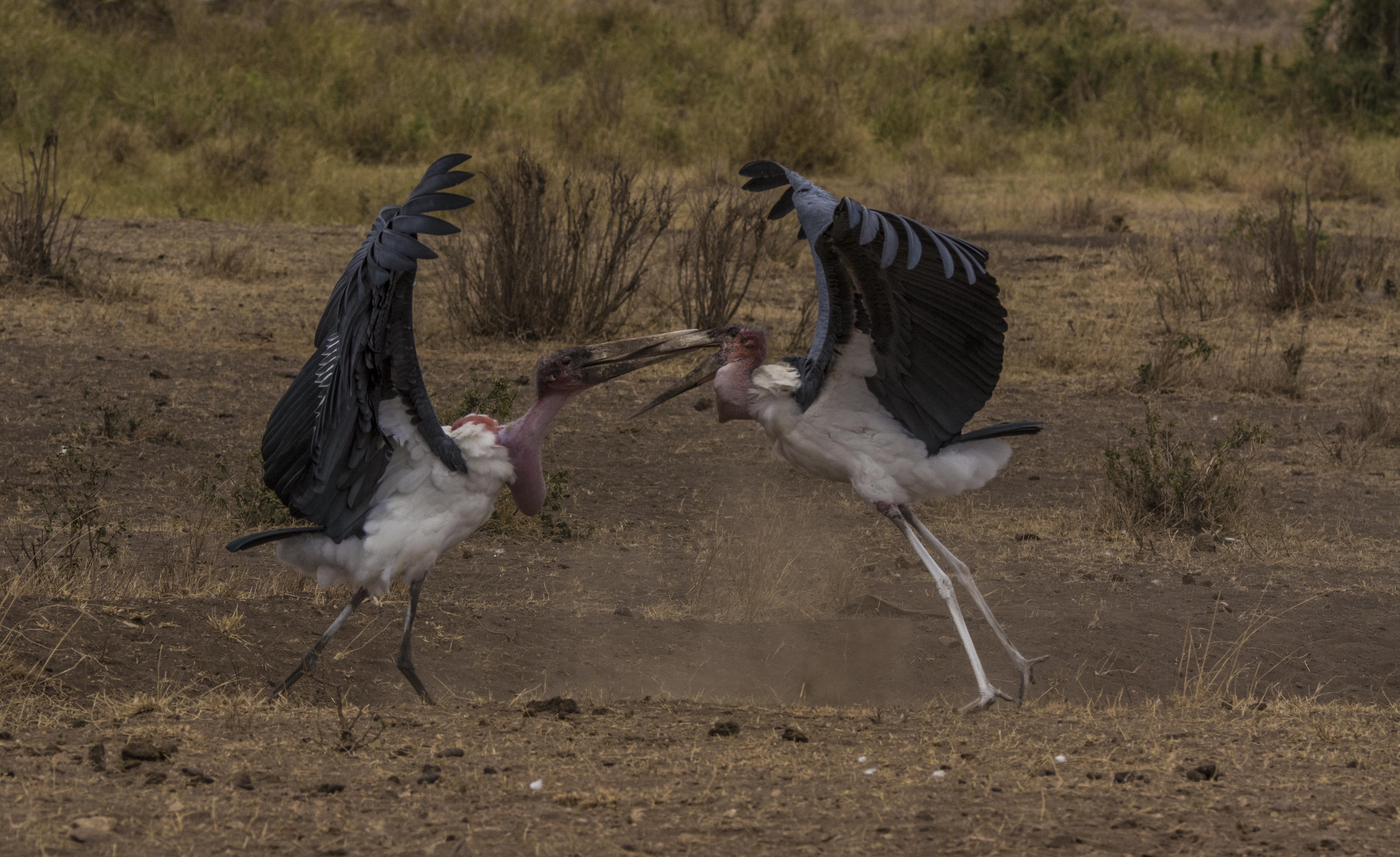 Marabou Stork fight