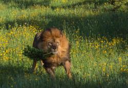 Mufasa with his catnip
