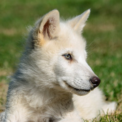 Artic Wolf pup