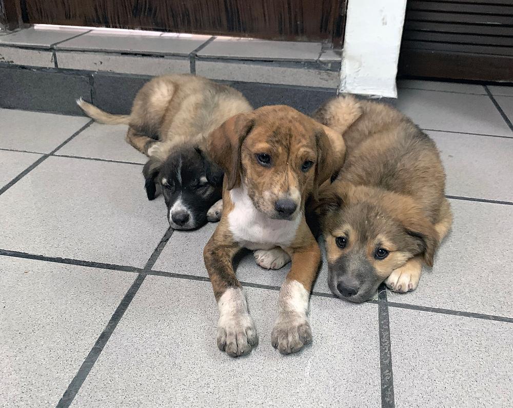 Cachorros de Canela a los 2 meses de edad.