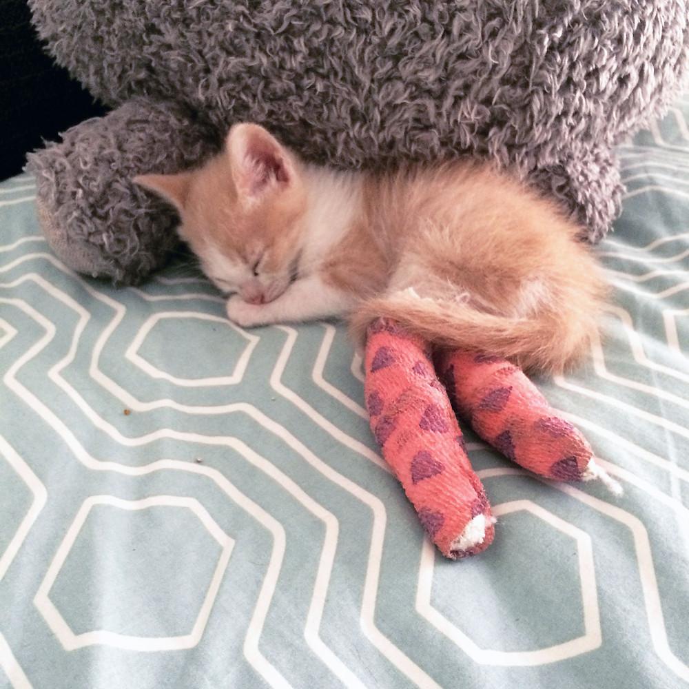 Archie con 6 semanas de vida y sus vendajes pre-cirugía.
