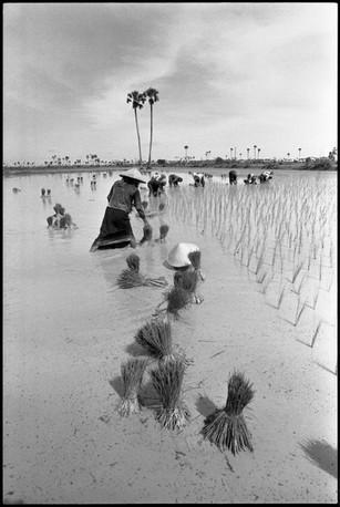 Transplanting paddy.