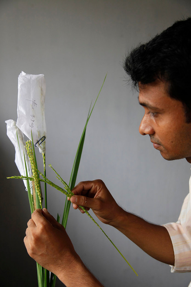 A lab technician crosses two starins of rice in the bio-technology field lab at the Bangladesh Rice Research Institute at Gazipur, Bangladesh, 2009.