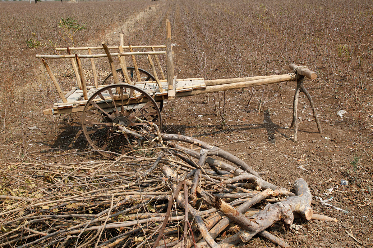 A bullock cart and dried branches in a harvested cotton field.