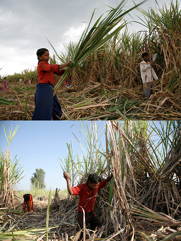 Ahmednagar district, Maharashtra, 2006: A child of a seasonal migrant sugarcane workers works in a sugarcane  field.