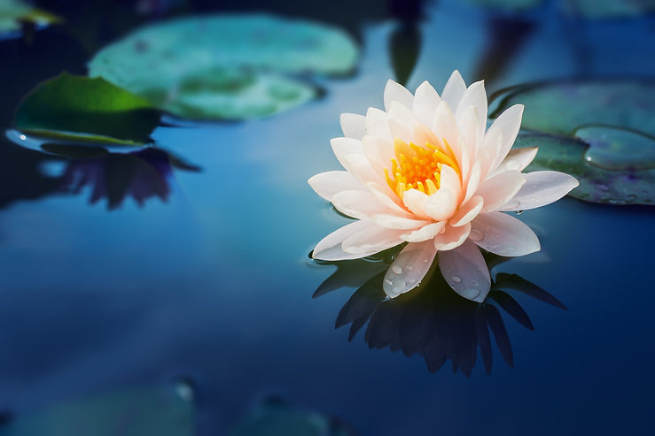 Water_Lily.jfif