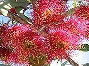 カリハニーの蜜源花