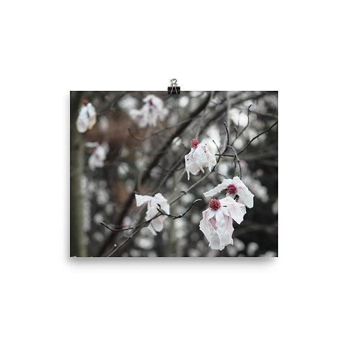 'Pink Parchment' Magnolia Tree Print