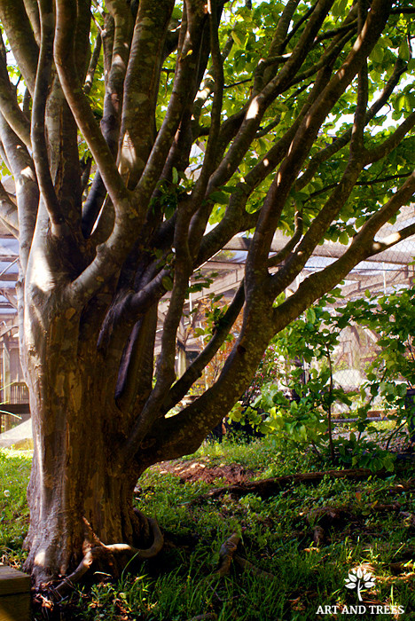 Tree of the Month: Parrotia persica