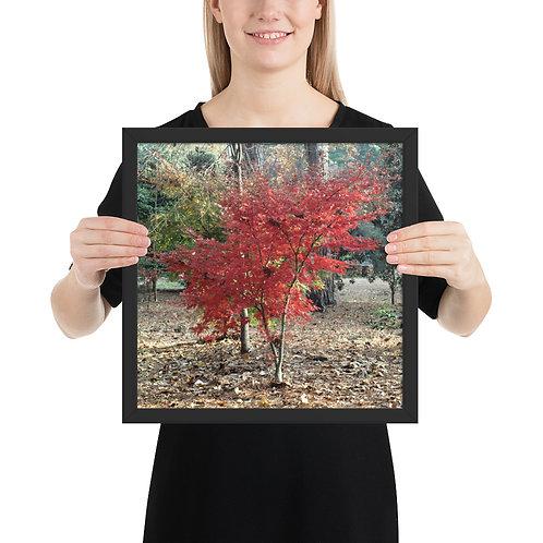 Fall Mape Tree Framed photo