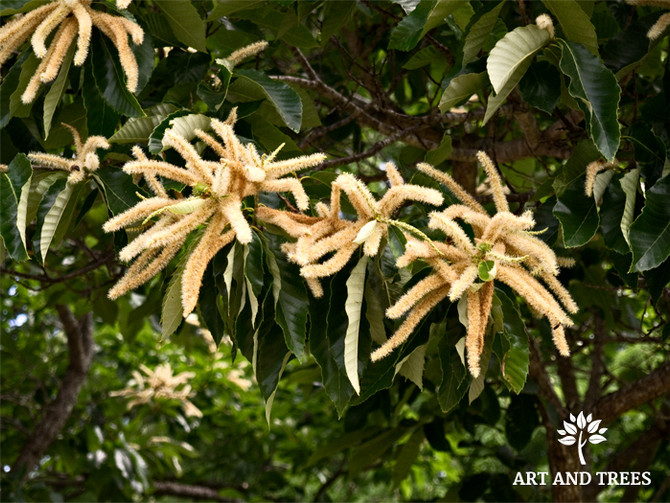 Tree of the Month: Chinese chestnut