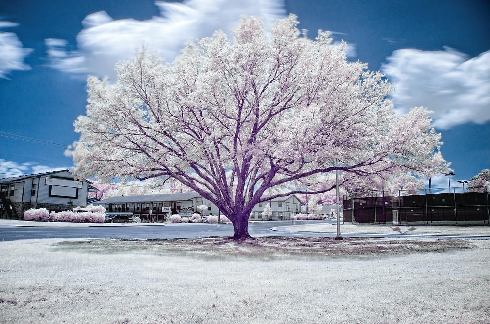 infrared tree sfa