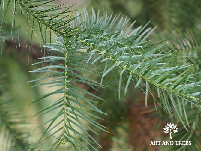The Evergreen Tree: China-fir